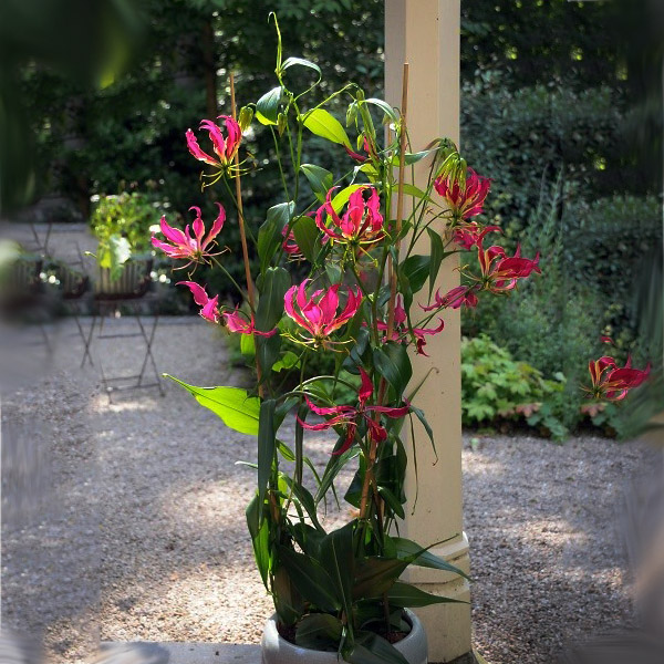роза жаде фото