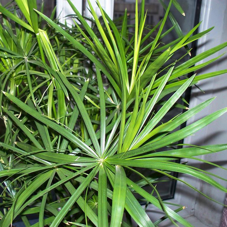 Подготовка почему циперус не растет желтеют листья проводить массаж сразу