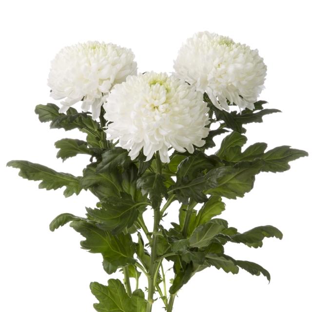 магнум хризантема фото
